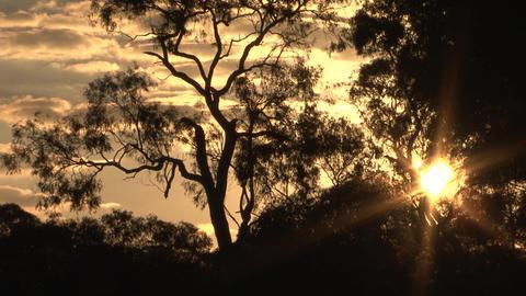 Australia Themed Tree Sunset Live Action