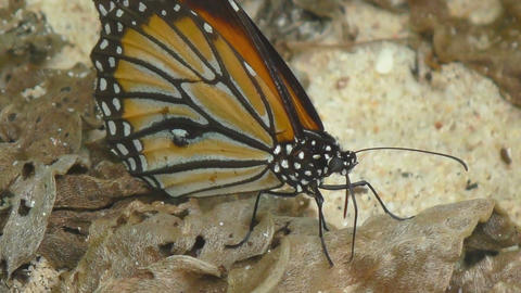 Monarch butterfly Footage