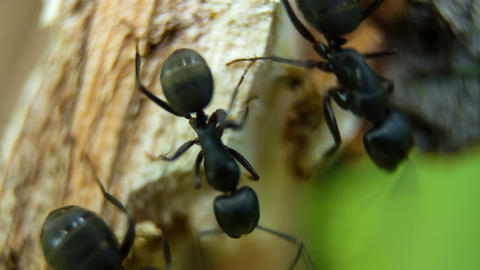 Black garden ants in broken tree trunk Footage