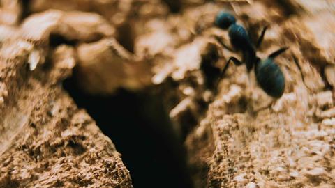 Black garden ants in broken tree trunk Footage