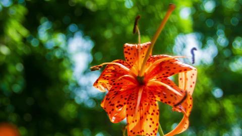 Wild Lily Flower Close-up.Saranka stock footage