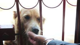 a pair of Labrador dogs are licking the hands master Live Action